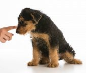 scolding puppy - airedale puppy being trained isolated on white background