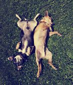 two chihuahua rolling in the grass toned with a retro vintage instagram filter