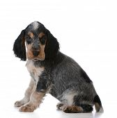 cute puppy - english cocker spaniel puppy  sitting on white background
