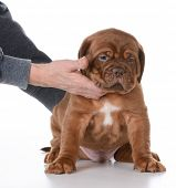 pic of dogue de bordeaux  - hands holding puppy in a sitting on white background  - JPG