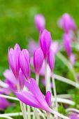 Crocus. Bright Violet Spring Flowers On Green Meadow