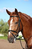 picture of bridle  - Chestnut sport horse portrait in summer with bridle - JPG