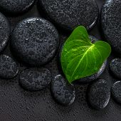 Beautiful Spa Concept Of Green Leaf Calla Lily On Zen Basalt Stones With Drops, Closeup