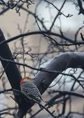 picture of woodpecker  - Red Bellied Woodpecker spotted in Central Park New York - JPG