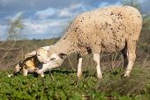 pic of baby sheep  - Baby lamb and her maternal sheep mother just after the birth Extremadura Spain - JPG