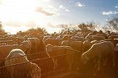 Sheeps At Sunset