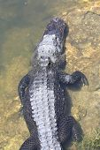 pic of crocodilian  - a picture of an alligator sunning itself