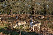 Fallow deer eating in autumnal park