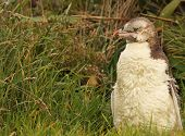 Juvenile Yellow-eyed Penguin