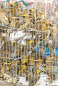 Many Asian Golden Weaver Were Imprison In Cage.