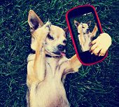 a cute chihuahua in the grass taking a selfie on a cell phone cell phone toned with a retro vintage instagram filter effect