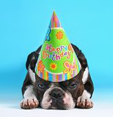 a cute boston terrier with a birthday hat on pouting on a blue background
