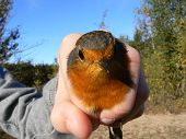 Robin Portrait Bird Held In The Hand. Catching And Ringing Birds.