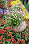 picture of zinnias  - Pentunia and zinnia flowers in garden under sunshine - JPG