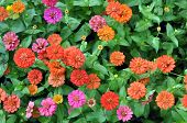 image of zinnias  - a lot of zinnia flowers in garden under sunshine - JPG