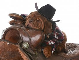 stock photo of western saddle  - cute puppy  - JPG