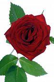 foto of rose close up  - Close - JPG