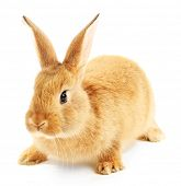 pic of wild-rabbit  - Cute brown rabbit isolated on white - JPG