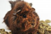 picture of guinea pig  - brown cute guinea pig on white background - JPG