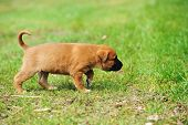 picture of belgian shepherd  - young puppy belgian shepherd malinois in field