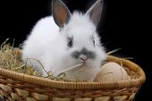 stock photo of midget  - small rabbit and eggs isolated on black background - JPG