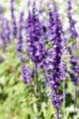 image of salvia  - blurry defocused image of purple flower  - JPG