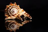foto of snail-shell  - Sea spiral snail shell on black background - JPG