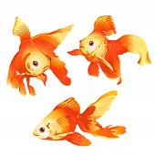 pic of goldfish  - three different goldfish on a white background - JPG