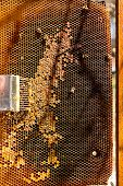 pic of honeycomb  - Bees works on honeycomb and tool for opening honeycombs - JPG