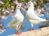 stock photo of pecker  - two white pigeon on flowering background  - JPG
