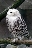 picture of hedwig  - sitting on a branch in front of a cave - JPG