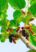 image of mulberry  - Fresh ripe mulberry berries on tree  - JPG