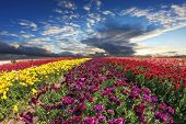 picture of buttercup  -  Spring wind farm on cultivation of buttercups  - JPG