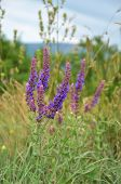 foto of salvia  - Blooming wild Blue salvia flowers on meadow - JPG
