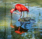 stock photo of scarlet ibis  - Scarlet ibis  - JPG
