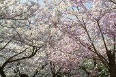 picture of cherry  - The National Cherry Blossom festival is a spring celebration in Washington DC - JPG