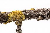 picture of lichenes  - Lichen on a tree branch isolated on white background - JPG