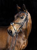 image of brown horse  - Studio portrait of a brown Oldenburg sport horse with black background - JPG