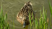 stock photo of duck pond  - A female duck swimming in the pond trying to get on the grassy bank - JPG