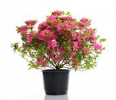 picture of azalea  - vase with blossom azalea - JPG