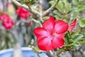 foto of desert-rose  - Desert Roses are Thai Flower - JPG