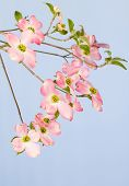 picture of dogwood  - Branch of pink flowering dogwood tree on light blue background - JPG