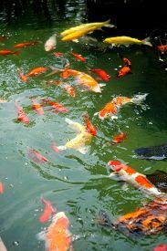 pic of koi fish  - Beautiful ornamental koi fish swimming in pond - JPG