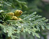Wet Cedar