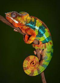 stock photo of chameleon  - A panther chameleon is resting at night and is displaying rich colors that he normally would not display during the day - JPG