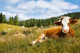 picture of cattle breeding  - Freely grazing domestic and healthy cows on an idyllic sunny summer mountain pasture wit alpine cottages in the background - JPG