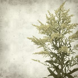 picture of goldenrod  - textured old paper background with Solidago goldenrod plant - JPG
