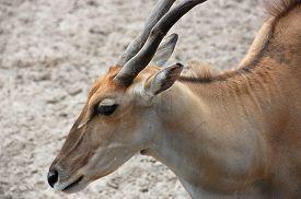 image of eland  - One common eland Taurotragus oryx - JPG