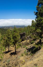 stock photo of burro  - Inland Central Gran Canaria Las Cumbres the highest areas of the islands view over treetops towards Panza de Burro Donkey Belly cloud cover almost always present at the north of the Canary Islands  - JPG