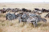������, ������: Herd Of Wildebeest And Zebra Grazing On Grasslands Of African Savanna